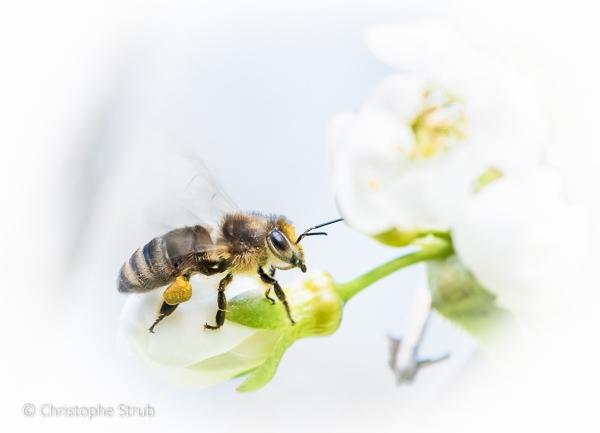 Petite abeille.jpg