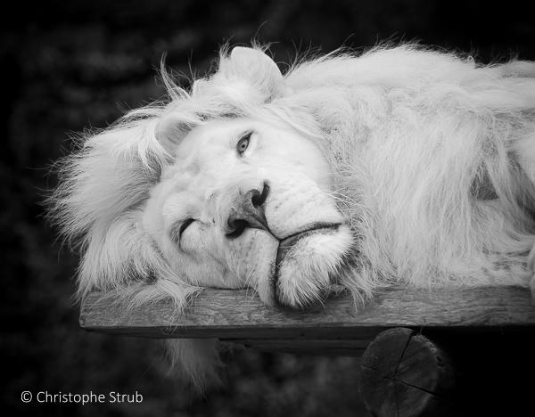 Lion blanc monochrome.jpg