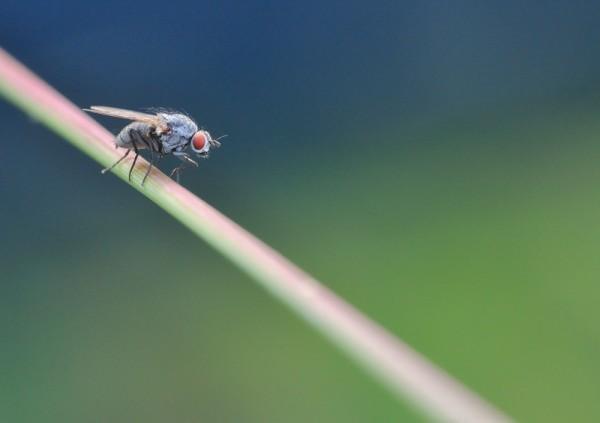Mouche sur sur brin d'herbe macro photo christophe strub.jpg